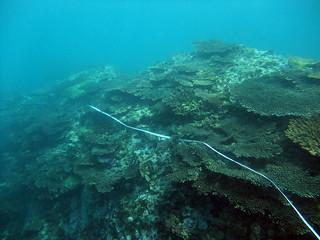 桌形軸孔珊瑚群聚現象。(圖片來源:陳昭倫研究團隊)