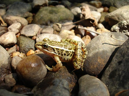 Image of Pickerel Frog