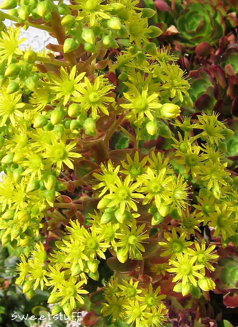 Close up of Aeonium bloom