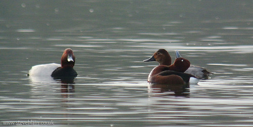Ferriginous Duck, Priory CP