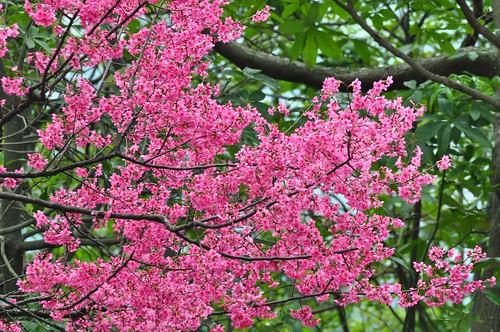 樹林大同山櫻花林