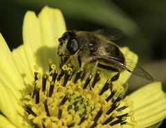 nectar(0.0), plant stem(0.0), arthropod(1.0), pollinator(1.0), animal(1.0), fly(1.0), honey bee(1.0), pollen(1.0), flower(1.0), yellow(1.0), nature(1.0), invertebrate(1.0), macro photography(1.0), membrane-winged insect(1.0), flora(1.0), green(1.0), fauna(1.0), close-up(1.0), bee(1.0), bumblebee(1.0),