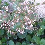 jade plant 005