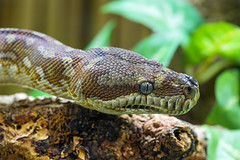 Portrait of a nice brown snake