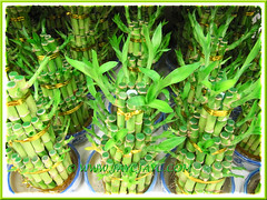 Dracaena braunii or D. sanderiana (Lucky Bamboo, Ribbon Plant/Dracaena, Belgian Evergreen) in water, at a garden nursery