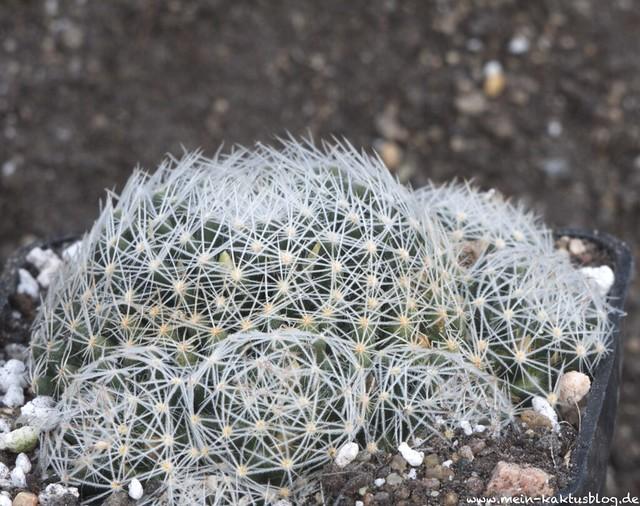 Mammillaria picta Knospen