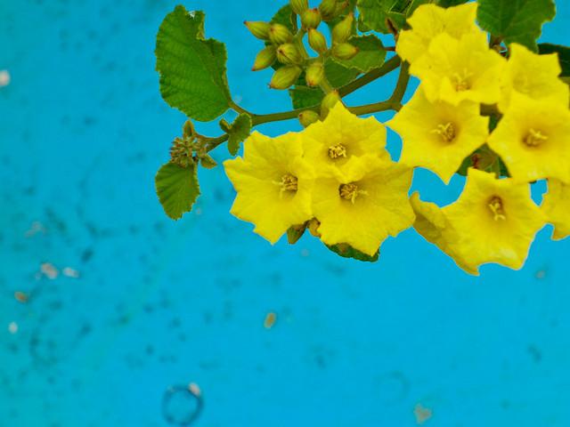 Galapagos Plants: Cordia Lutea