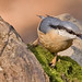 161 Nuthatches