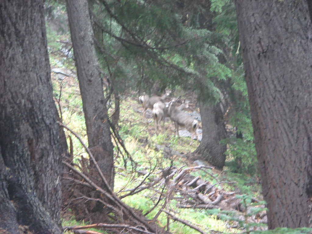Deer near the Pacific Crest Trail