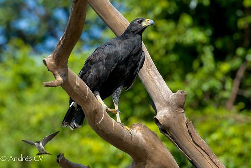 nature birds hawk wildlife aves raptor birdwatching rapaz d600 falconiformes vichada greatblackhawk buteogallusurubitinga aguilanegra colombiabirds cangrejeromayor andrescv