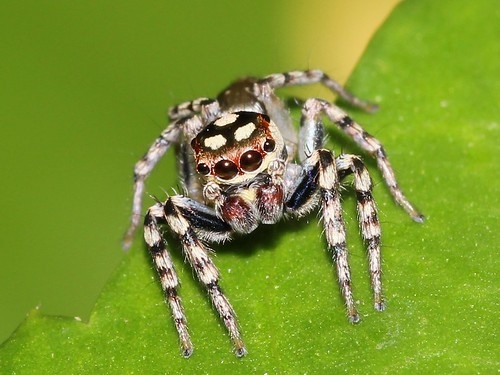 Jumping spider 8153