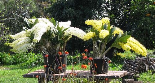 2 Dendrobiums speciosum