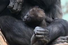 Gorillababy mit Familie