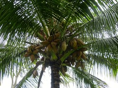 arecales, tropics, borassus flabellifer, coconut, branch, tree, produce, fruit, food,