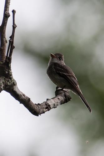 birds animals ecuador loja animalia vertebrates tyrannidae tropicalpewee contopuscinereus tyrantflycatchers contopuscinereuspunensis tropicalpeweetumbes