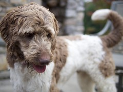 toy poodle(0.0), miniature poodle(0.0), wire hair fox terrier(0.0), irish soft-coated wheaten terrier(0.0), standard poodle(1.0), dog breed(1.0), animal(1.0), dog(1.0), schnoodle(1.0), petit basset griffon vendã©en(1.0), pet(1.0), lagotto romagnolo(1.0), otterhound(1.0), glen of imaal terrier(1.0), poodle crossbreed(1.0), spinone italiano(1.0), dandie dinmont terrier(1.0), lakeland terrier(1.0), cockapoo(1.0), goldendoodle(1.0), spanish water dog(1.0), briquet griffon vendã©en(1.0), carnivoran(1.0),