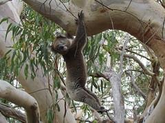 animal, branch, koala, fauna, jungle, wildlife,