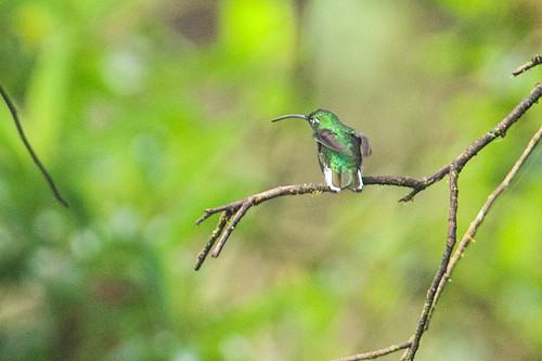 birds animals ecuador hummingbirds loja animalia vertebrates trochilidae lafresnayalafresnayi mountainvelvetbreast