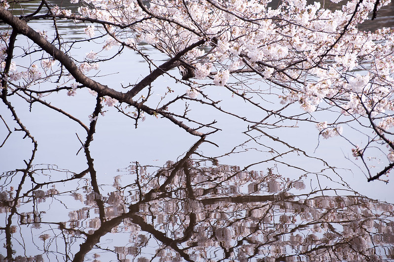 Cherry blossoms in Shinjyuku-Gyoen