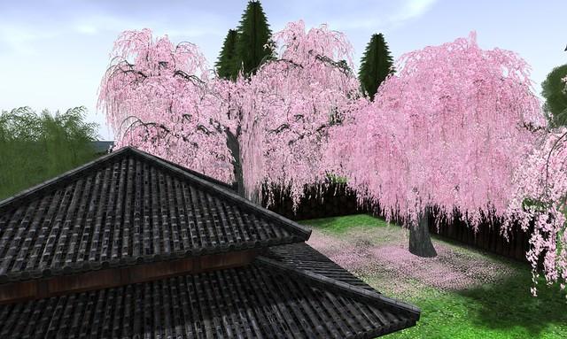 Cherry Blossom - 02