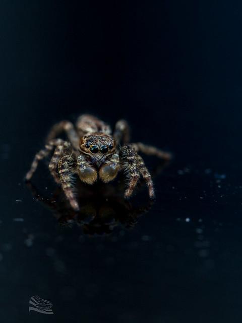 Saltique / spider