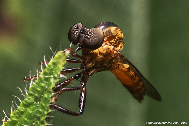 Orange Robber Fly