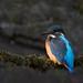 Common Kingfisher (Alcedo atthis