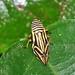 Small photo of Splittlebug (Aphrophoridae)