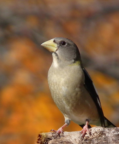 Evening Grosbeak by vtpeacenik