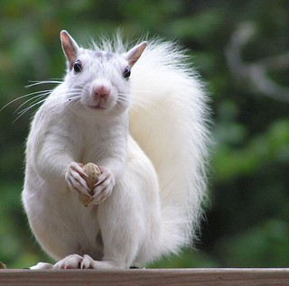 White squirell