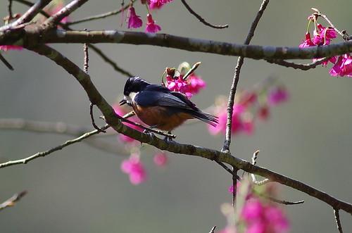 赤腹山雀  及隨拍