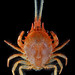 "The ""bipedal crab"", Gomeza_bicornis"