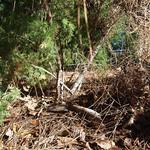 Garden Inventory: Ming Fern Asaparagus (Asparagaus retrofractus) - 5