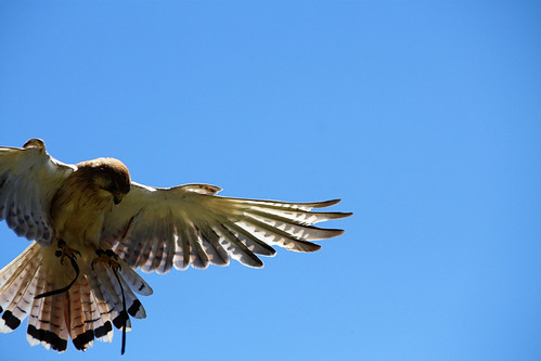 Birds of prey (Kangaroo Island)