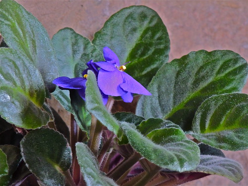 African Violet by Irene.B.