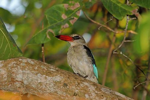tanzania canonef100400mmf4556lisusm pembaisland mangrovekingfisher halcyonsenegaloides ngeziforest canoneos5dmkiii halcyonsenegaloidesranivorus
