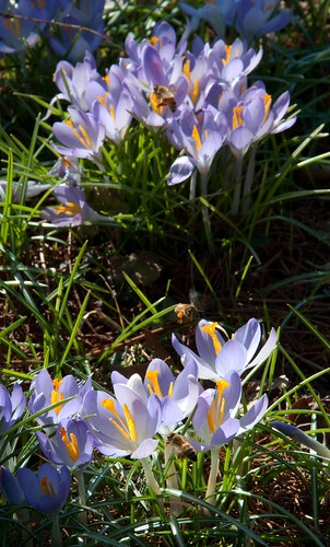 Crocus and bees LP 2-15-13 5409 lo-res