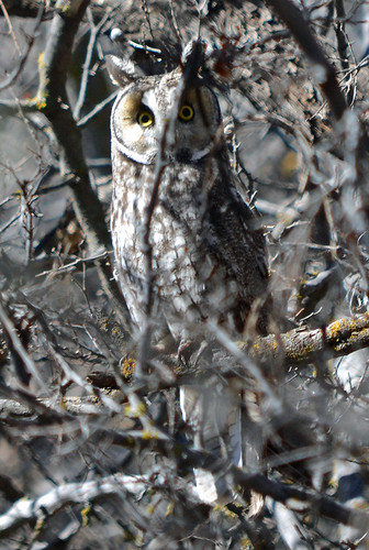 Long-eared Owl, Yavapai County AZ