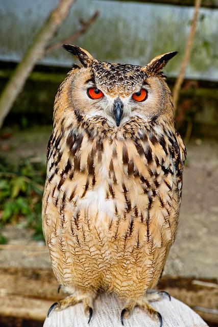 rock-eagle-owl_030313