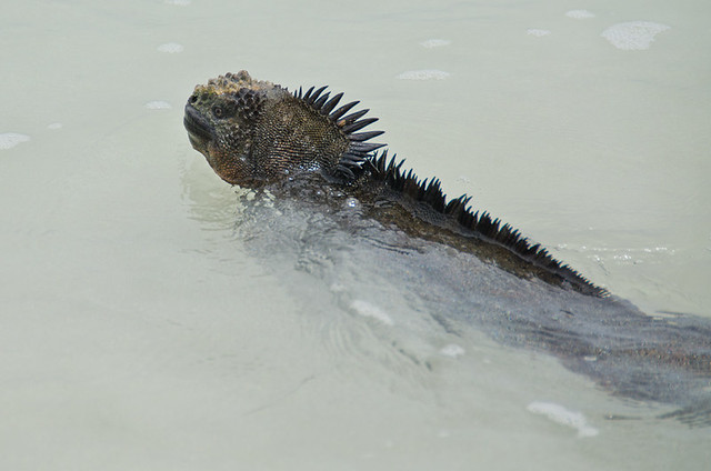 Galapagos Reptiles: Marine Iguanas swimming
