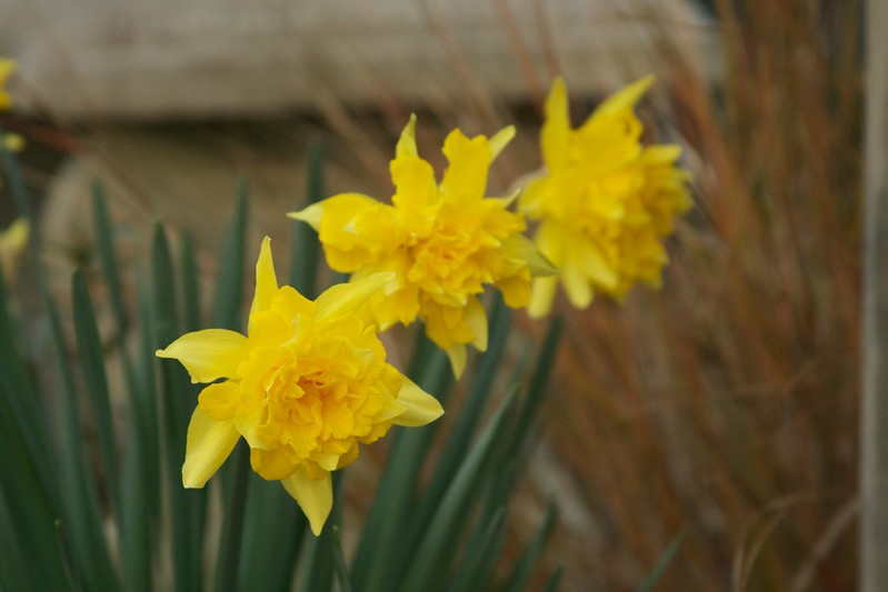 double daff  3328
