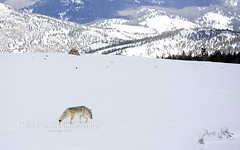Coyote in the Yellowstone landscape