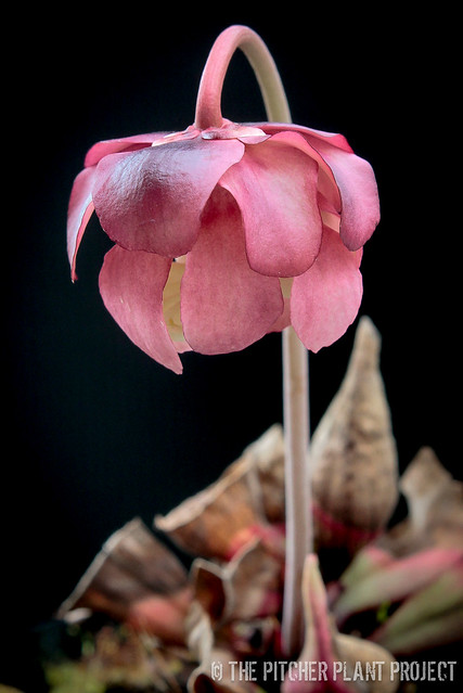 "Sarracenia purpurea ""Smurf"" flower"