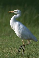 Western Cattle Egret