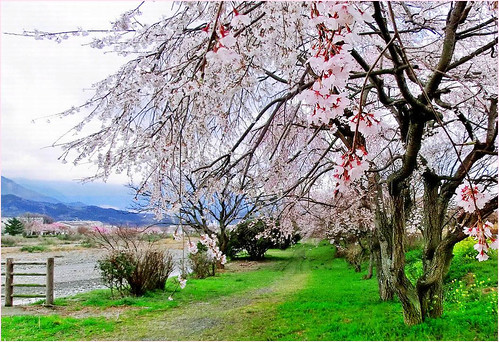 Walking under the cherry tree by T.takako