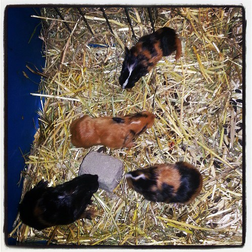 Kiki a eu 4 bébés à 13h ♥ donc voici kaka, koko, kuku et keke ^^ #cochondinde #guineapigsofinstagram #guineapig #bebe #baby