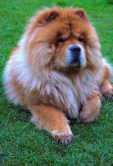 dog breed, animal, chow chow, dog, pet, carnivoran,