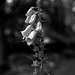 Foxglove (Hyons Wood) by Jonathan Carr