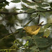 Tennessee Warbler by Buzzie82