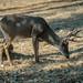 Backyard Visitor_Mule Deer Buck by Barking Dog Photos_Bruce Gregory